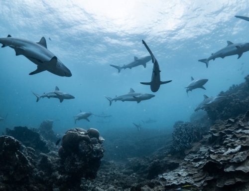 Shark numbers decline by 71%